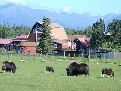 The Musk Ox Farm