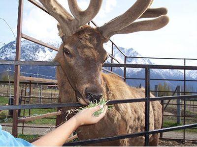 The Reindeer Farm